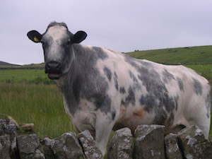 Cow by the A68